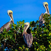 Three Brown Pelicans