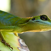 Green Crested Lizard