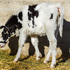 Baby Cow Eats Lunch In The Sun
