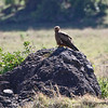 Yellow-billed Kite, Ngorongoro Crater Tanzania, 1/02/09
