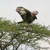 Long-crested Eagle, Serengeti Nat. Pk. Tanzania, 1/04/09