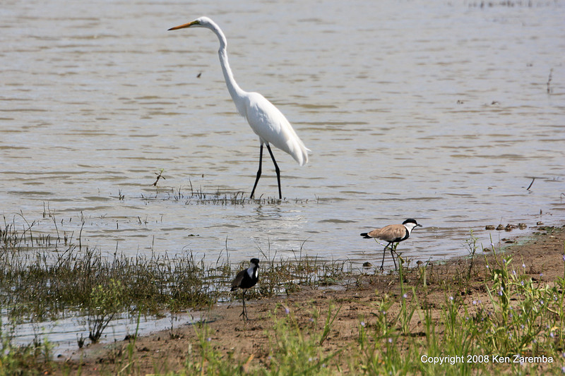 Great Egret & Spur-winged Lapwings, Selous Game Reserve Tanzania, 1/07/09