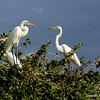Great Egrets, Bird Island, Lake Nzerakera, Selous Game Reserve Tanzania, 1/08/09