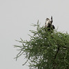 Long-crested Eagle, Serengeti Nat. Pk. Tanzania, 1/05/09