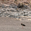 Black Stork and Yellow Baboons, Mashatu Game Reserve