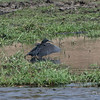 Black Heron spreading its wings to create shadow to see fish, Chobe National Park, Botswana