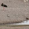 Hamerkop and a  Black Stork, Mashatu Game Reserve, Botswana