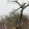 Southern Yellow-billed Hornbill, Mashatu Game Reserve, Botswana