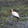 Yellow-billed Stork, Chobe National Park, Botswana