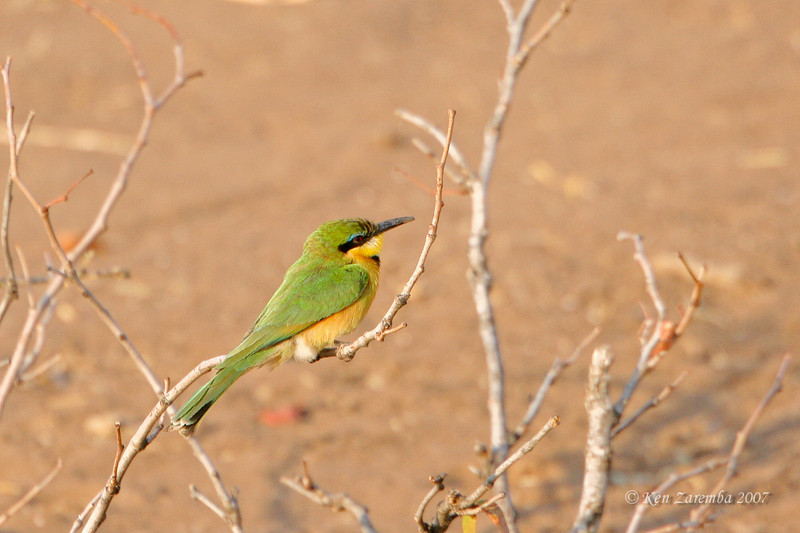Little Bee-eater, Mashatu Game Reserve, Botswana
