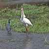 Black Heron and an African Spoonbill, Chobe National Park, Botswana