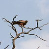Yellow-billed Kite, Moremi Game Reserve, Okavango Delta, Botswana