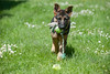 Dog,hond,chien,Belgian shepherd dog,Malinois,Mechelse herder,Mechelaar