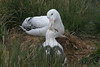 pair of Wandering Albatross, Prion Island