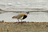 The Southern Lapwing (Vanellus chilensis) is a wader in the family Charadriiformes. It is a common and widespread resident throughout South America