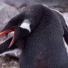 Gentoo Penguin grooming its wing
