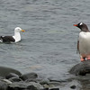 Kelp Gull and Gentoo Penguin<br /> The gull is huge.<br /> Port Lockroy