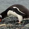 Gentoo Penguin collecting rocks for a nest
