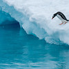 Gentoo penguin diving into the water - Paradise Bay, Antarctica