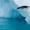 A Gentoo Penguin diving - Paradise Bay, Antarctica