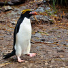 Macaroni Penguin, Hercules Bay, South Georgia