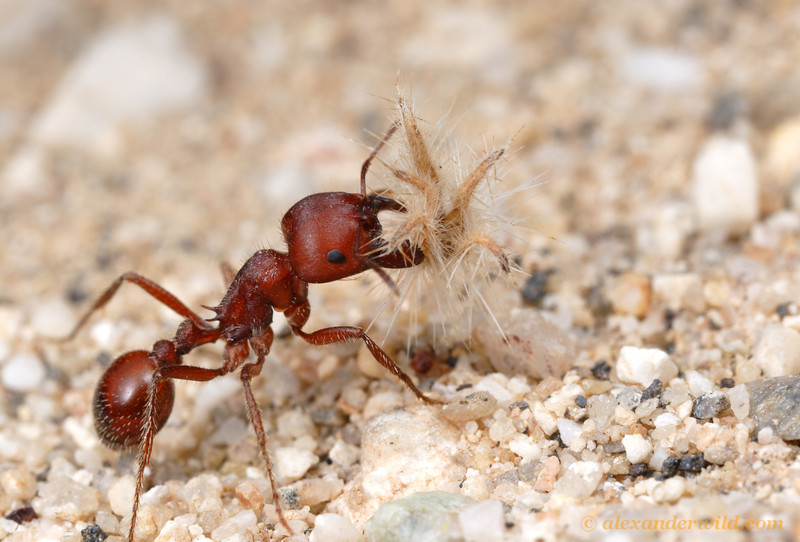 Composite Ant Community made  Joke Battles Wikia