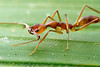 Anochetus micans is a slender trap-jaw ant with a narrow distribution in Central America.  Armenia, Belize
