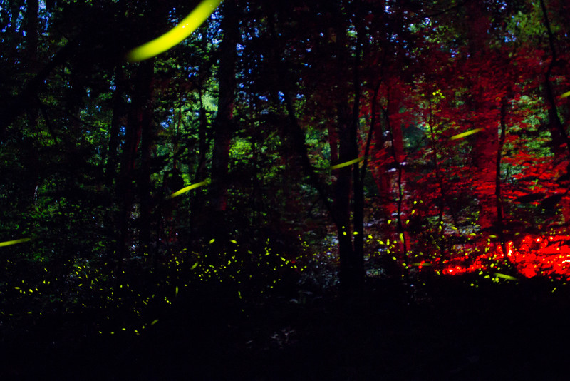 The forest floor is filled with the light of synchronous fireflies (Photinus carolinus) in Great Smoky Mountains National Park. The red glow is from the flashlights of responsible visitors who don't want to interfere with the firefly ritual by using traditional white light.