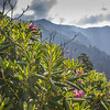 Rhododendrons grow wild and healthy on Mount LeConte in eastern Tennessee.