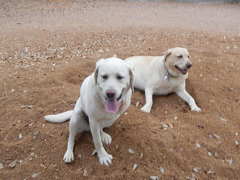 Boomer B  and Daisy A  chillin' on the gravel pile