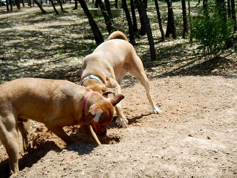 Spartacus and Sophie C  working together digging in the sand