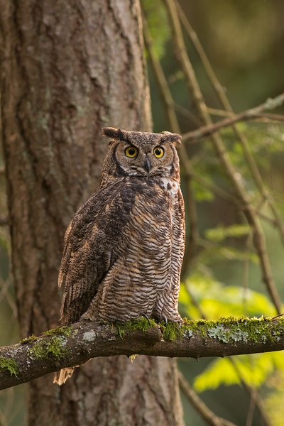 great horned owl victoria bc