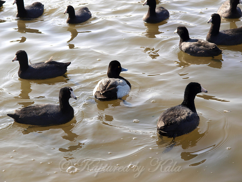 One Lesser Scaup in a Sea of American Coot