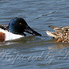 No Mistaking the Beaks of Northern Shovelers