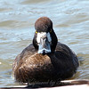 I Don't Think This Female Lesser Scaup Wanted Her Picture Taken