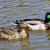 A Pair of Mallards.     Most of the water fowl are in pairs now.  Hopefully I'll be able to get photos of ducklings and goslings soon.