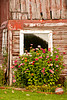 Bright-Colored Zinnias Against a Faded Red Barn in Autumn, Vernon County, Wisconsin