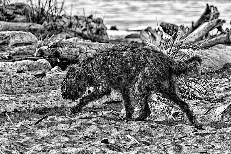 02 Jul 15.  It being Theatrical Thursday when anything goes, I'm going with a B&W of Miss Maggie. Now Maggie is a basically black dog, and a VERY shaggy one, so I thought it would be fun to try and emphasize both features without the support of color. Now this sounds simple since the dog is already black and everything else isn't, but the problem lies in the fact that when reduced to monochrome, many of the colors are very close to the same value of Maggie's unique black color. Converting the base image into B&W didn't give sufficient separation between Maggie and her surroundings to make for an even moderately acceptable picture. To get around this problem,  I applied a strong (over the top) detail enhancement to give lots of definition to Maggie but reduced it to varying degrees on everything else through the use of a mask. Now my shaggy story takes shape and you can clearly make out all of the dog, save for her eyes which you can't see even when looking straight at her, and perhaps even get a sense of her moving across the screen. This is our designer dog who is supposed to be non shedding and who provides us with enough fur daily to weave a small throw rug. Apparently she either didn't get the manual or can't read.<br /> <br /> I took the base image and adjusted for max tonality first, then applied a strong detail enhancement to get the needed definition, converted that to B&W, tweaked that a small bit, and finished with a green filter as you might when shooting B&W film. Nikon D300s; 18 - 200; Aperture Priority; ISO 200; 1/800 sec @ f / 5.6