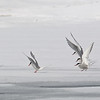 Arctic terns posing on the sea ice.