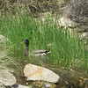 Duck in the reeds @Riparian