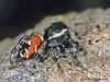 Phidippus sp. - Jumping Spider