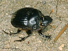 Dichotomius colonicus - Dung Beetle