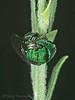 Chrysididae - Cuckoo wasp sleeping
