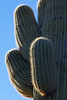 A giant saguaro cactus (Carnegiea gigantea). Taken in Organ Pipe Cactus National Monument, Arizona, USA.