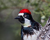 An acorn woodpecker (Melanerpes formicivorus). Taken in the Madera Canyon Recreation Area, Arizona, USA.