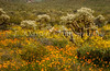 Spring wildflowers, and cholla cactus, in Organ Pipe Cactus National  Monument, Arizona, USA.