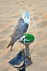 Falconry demonstration at Qar Al Sarab Desert Resort