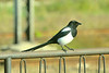 European Magpie, or Common Magpie (Pica pica)