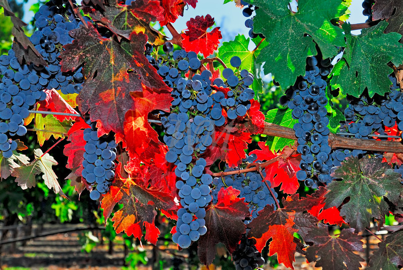 Ripe for Picking: Napa Valley, California