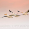 American White Pelicans, Salton Sea, Riverside County, CA, 4-27-14. Effects added with image editing software.